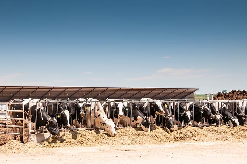 Kühe werden gefüttert